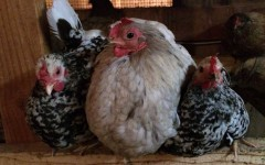 Two Mottled Japanese and a Splash Cochin Bantams