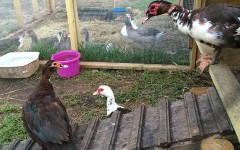 Roost for Muscovy ducks, Muscovies roosting
